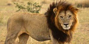 Вымирание львов